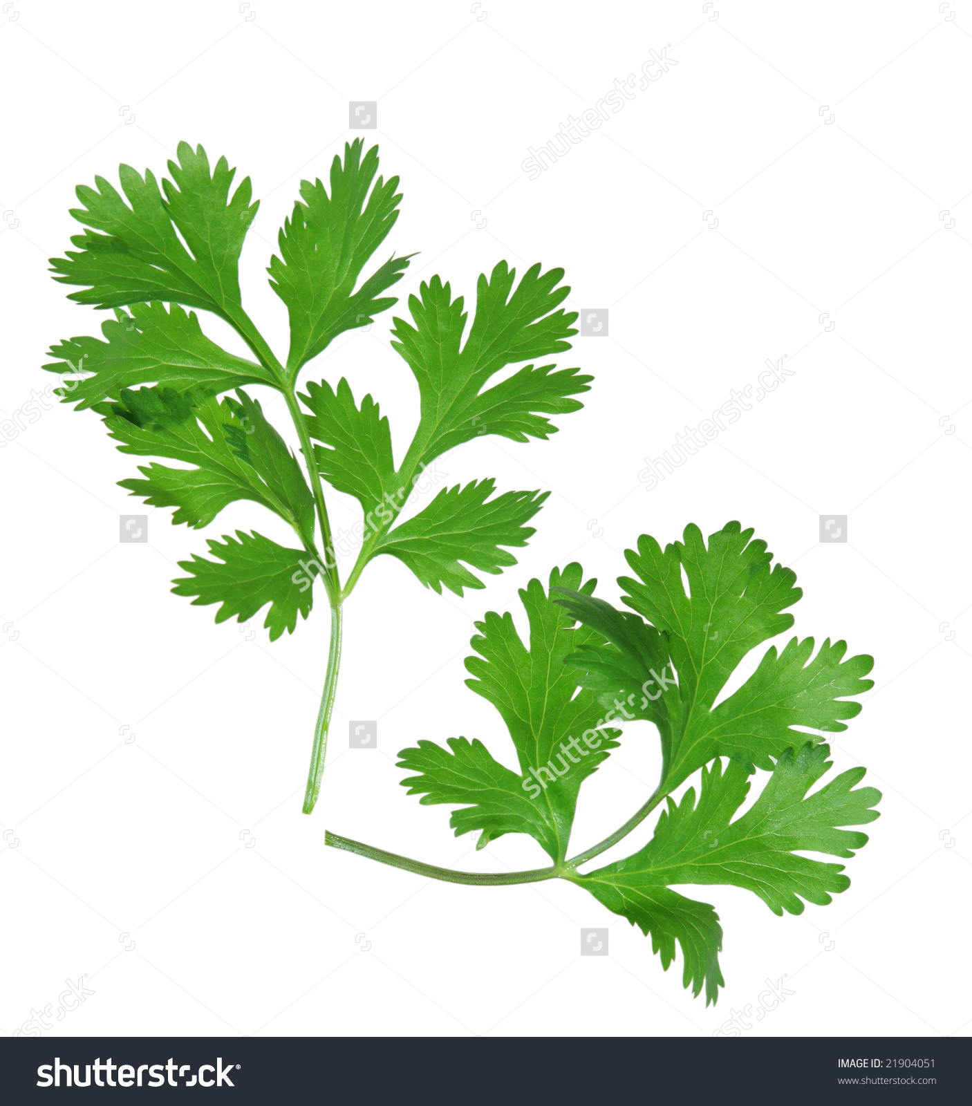 Two Branches Coriander Cilantro Isolated On Stock Photo 21904051.