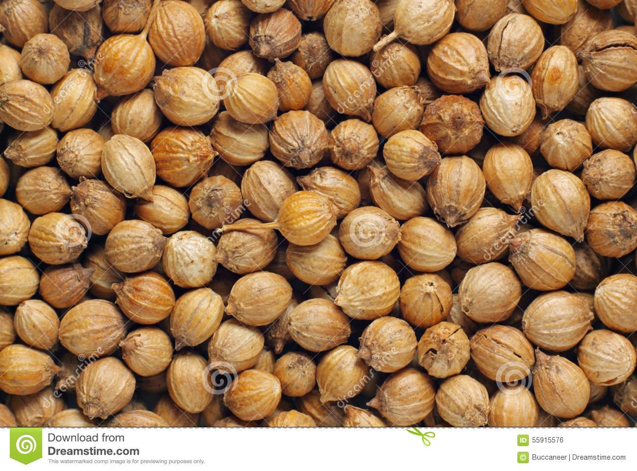Coriander Fruits Stock Photo.