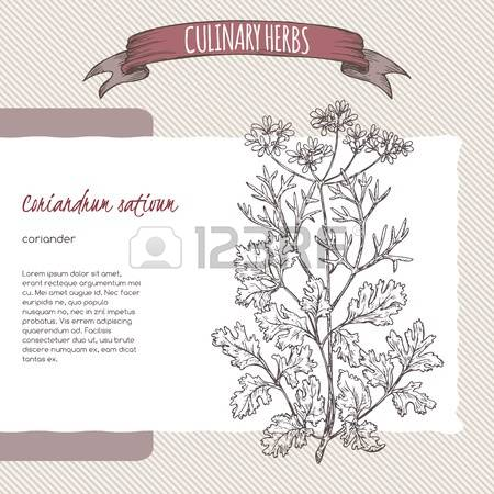 64 Coriandrum Stock Vector Illustration And Royalty Free.