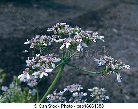 Pictures of Flowers of Coriander, hara dhania leaves, Coriandrum.