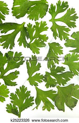 Stock Images of Leaves of Coriander, Coriandrum sativum k25223326.
