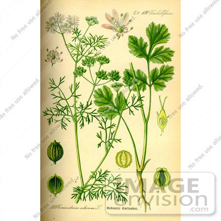 Picture of Coriander, Cilantro (Coriandrum sativum).