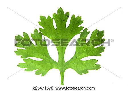 Pictures of Leaf of Coriander, Coriandrum sativum k25471578.