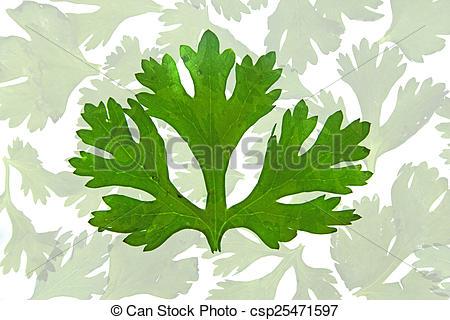 Stock Photographs of Leaf of Coriander, Coriandrum sativum.