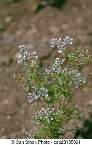 Stock Photographs of Flowers of Coriander, Coriandrum sativum.