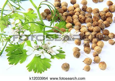Stock Photo of Coriander (Coriandrum sativum) k12033954.