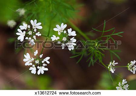 Stock Photo of Cilantro plant (Coriandrum sativum) x13612724.