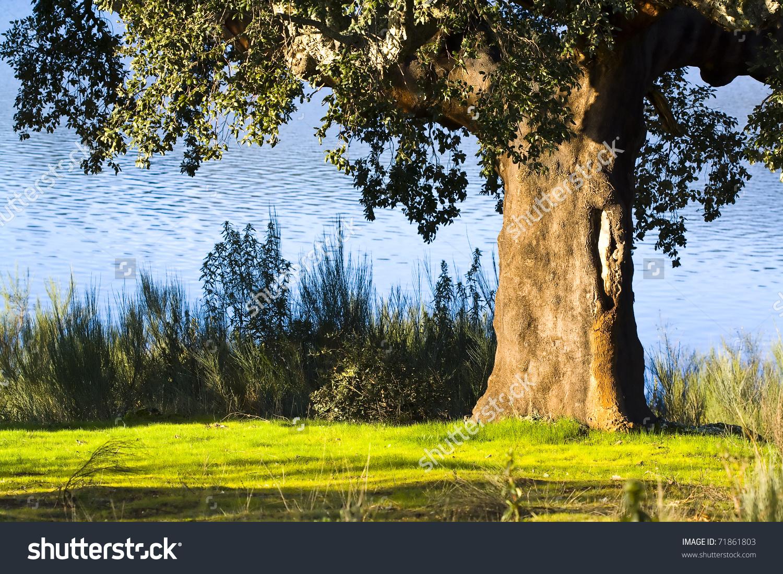 Old Cork Oak Tree On Shore Stock Photo 71861803.
