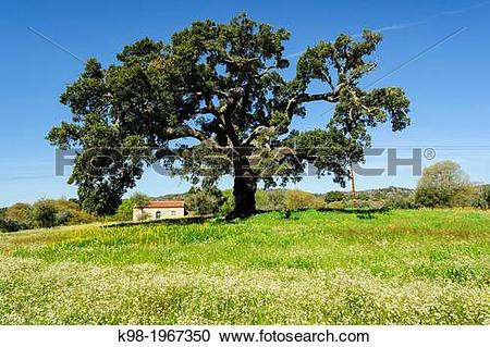 Stock Photography of home under the oaks, Quercus suber cork oak.
