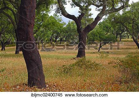 "Stock Image of ""Cork oaks (Quercus suber), Evora, Alentejo."