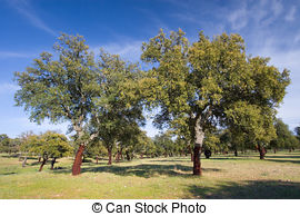 Stock Image of Cork oak in Monfrague, Caceres, Extremadura (Spain.