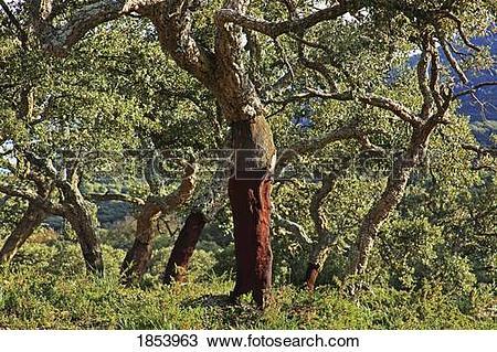 Stock Photo of Old Cork Oak tree; Andalucia, Spain 1853963.