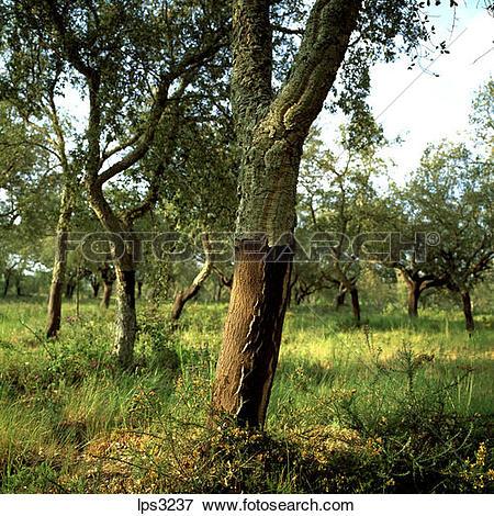 Picture of 13 Portugal Alentejo Cork Oaks Trees lps3237.