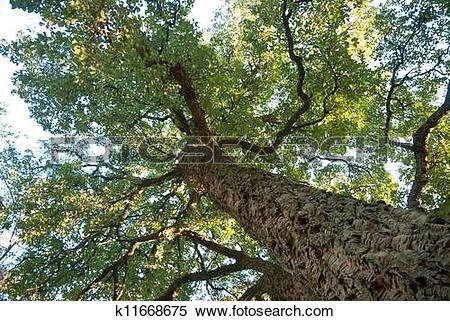 Stock Image of Cork oak tree, Quercos Suber k11668675.