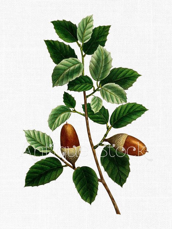 Cork Oak Leaves and Acorns Botanical Drawing by AntiqueStock.