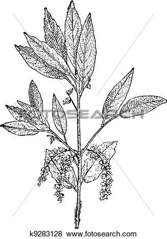 Clip Art of Cork Oak or Quercus suber, vintage engraving k9283128.