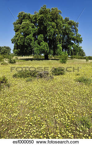 Stock Photography of Europe, Spain, Extremadura, Dehesa, View of.