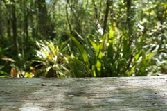 Alligator At Corkscrew Swamp Sanctuary Stock Photo.