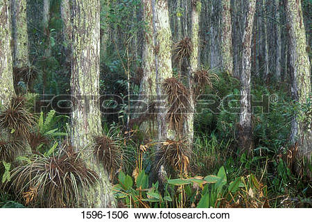Stock Images of Cypress trees with air plants in a forest.