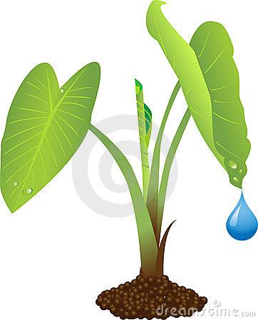 Gabi plant clipart.