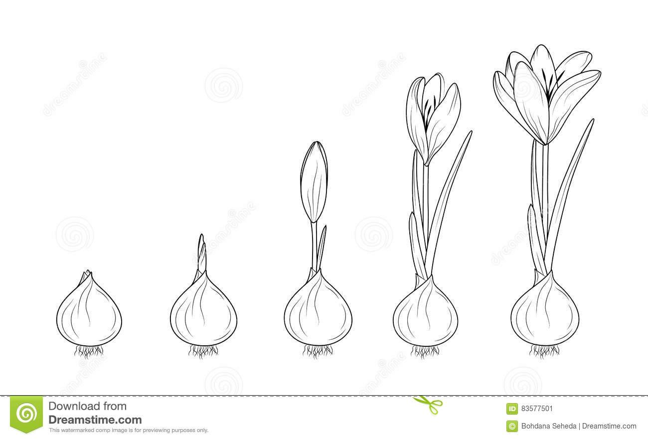 Corm Stock Illustrations.