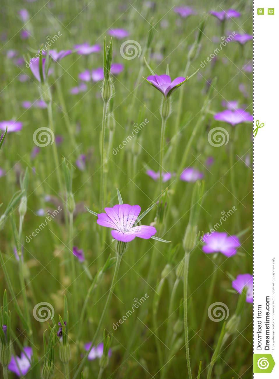 Corncockle Wild Pink Flower On Mass Stock Photo.