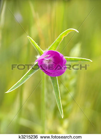 Stock Images of Corn cockle k3215236.