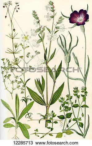 Stock Photo of Wildflowers. 1.Knawel 2.Spurrey 3.Field Chickweed 4.