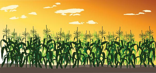 Corn Field Clipart Clipground