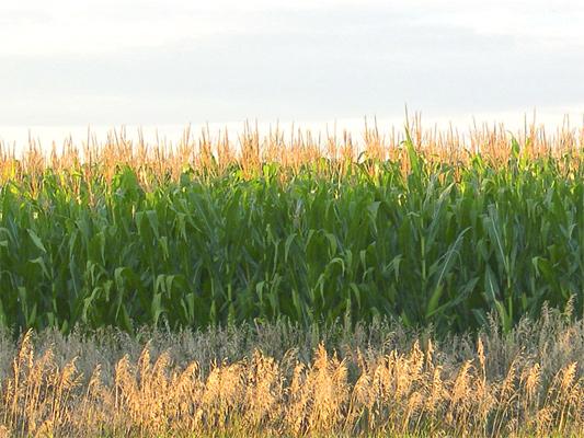 Maize fields clipart #17