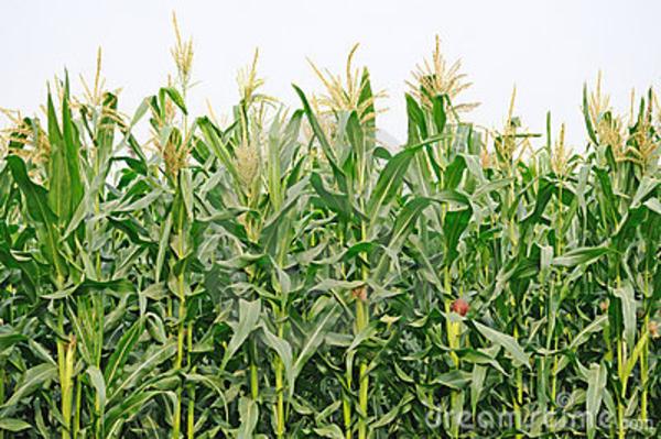 Maize fields clipart #16