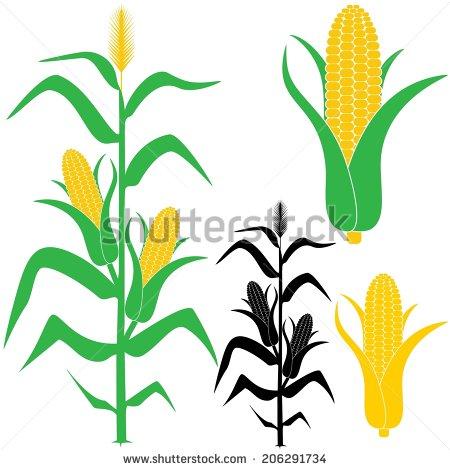 Corn Stalk Stock Photos, Royalty.