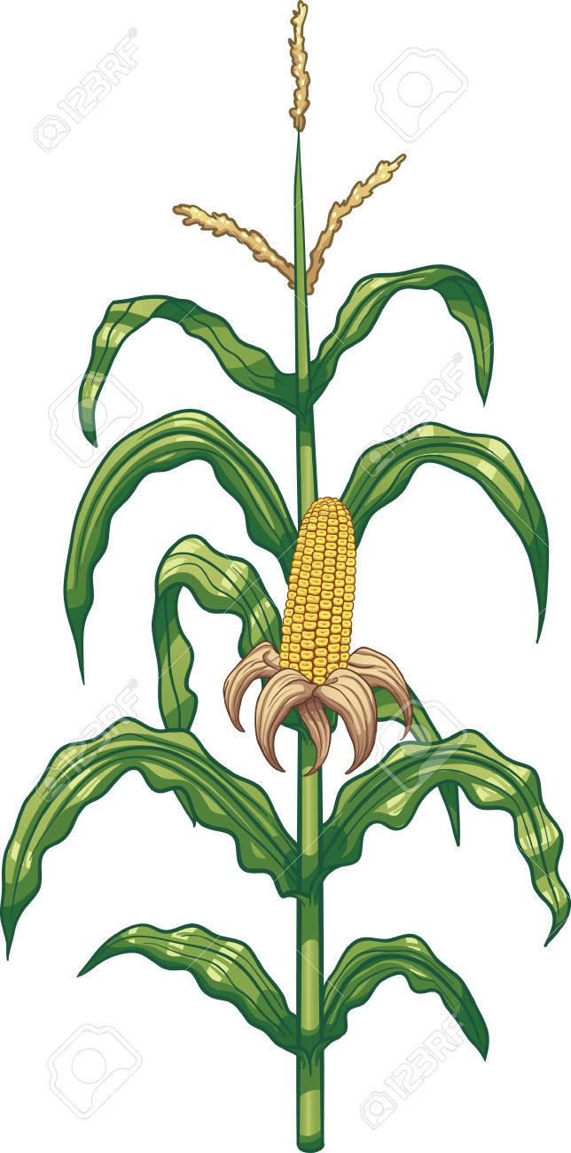 Corn grass clipart clipground for Corn stalk template