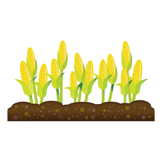Corn Crops Clipart.