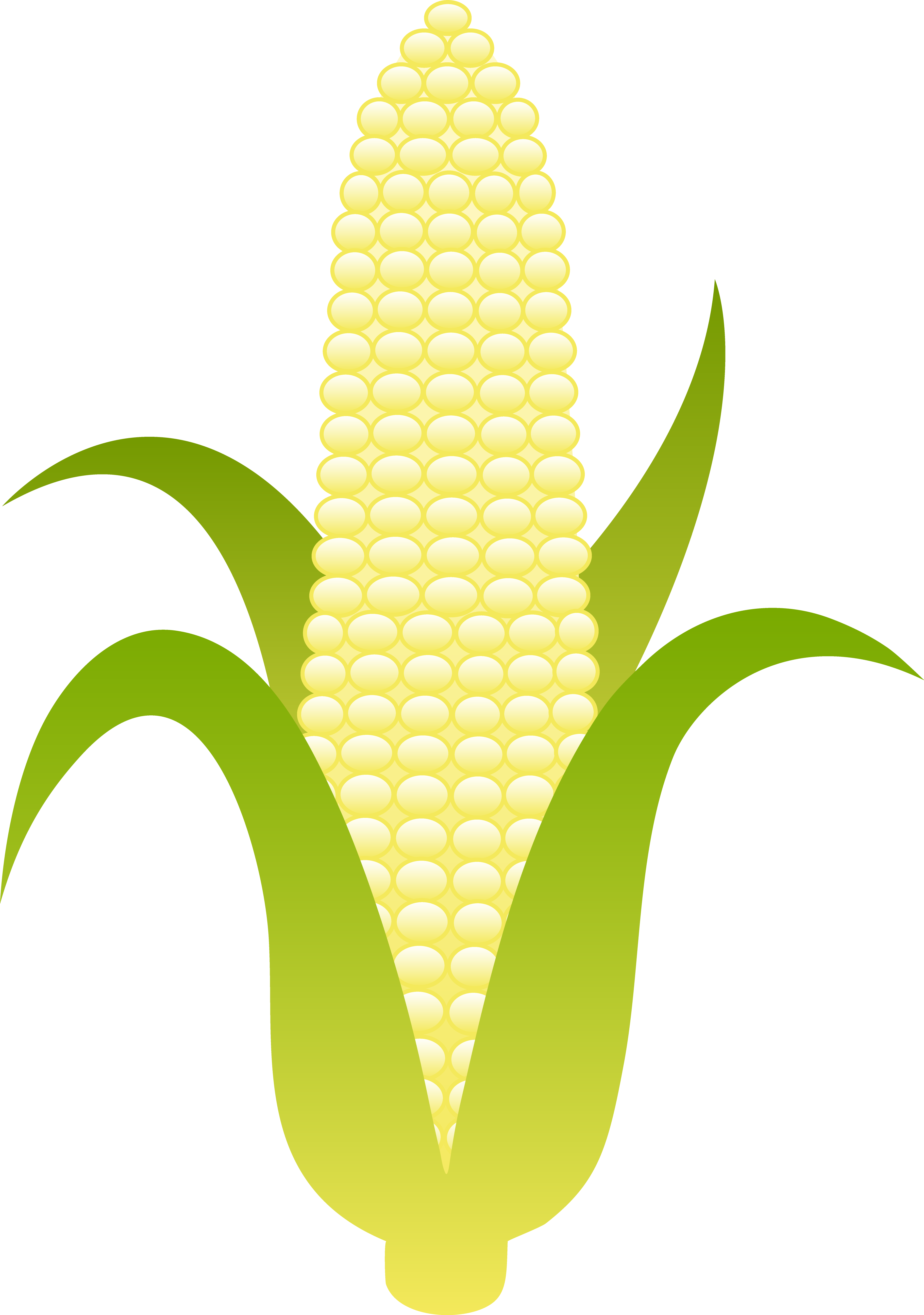 Ear of Sweet White Corn.