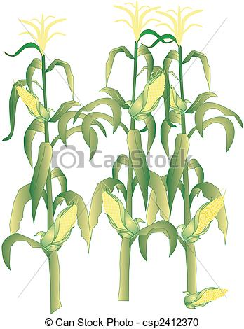Vector Clipart of Corn on the cob stalks illustration.