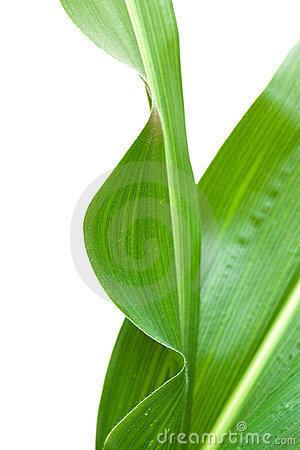 Corn Leaf ,isolated On White Stock Image.