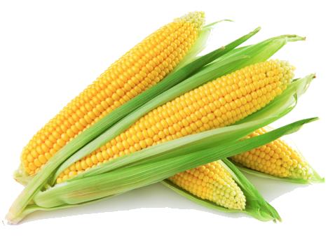 Corn (Maize) PNG Transparent Images.