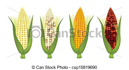 EPS Vectors of Four Colors of Fresh Corn with Husk and Silk.