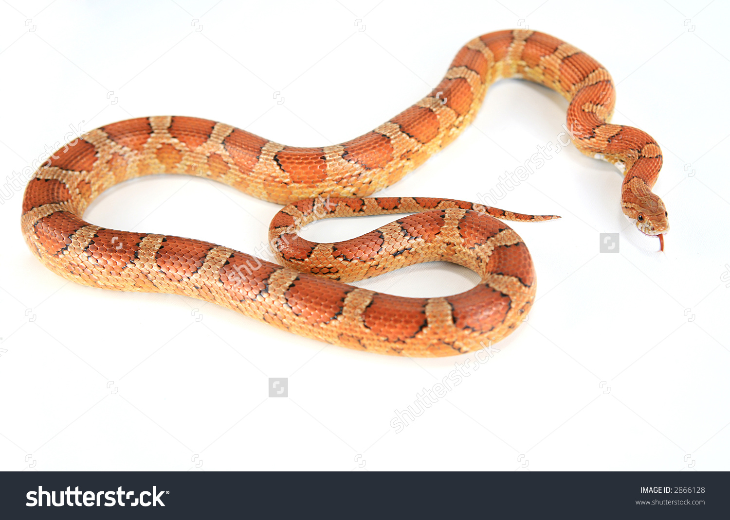 Corn Snake Clipart 20 Free Cliparts Download Images On