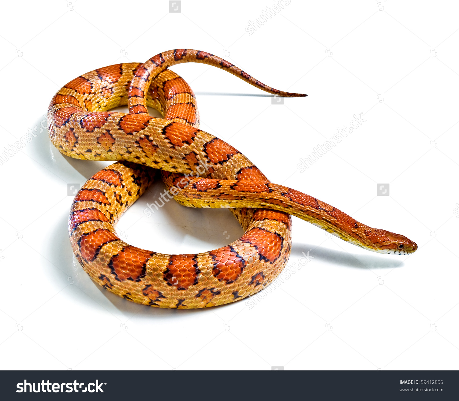 Corn Snake Clipart Clipground
