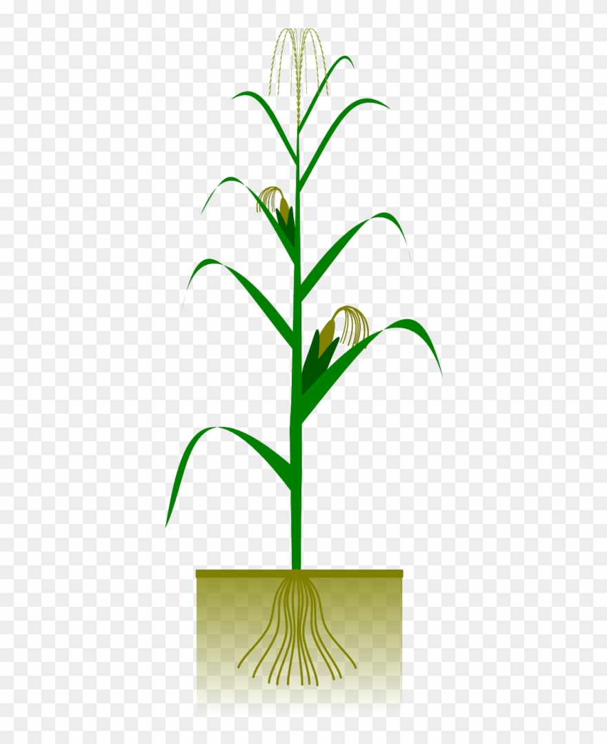 Fall Corn Stalk Clip Art.