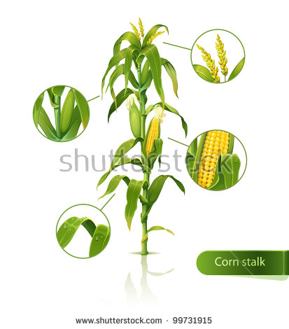 Corn Stalk Stock Images, Royalty.