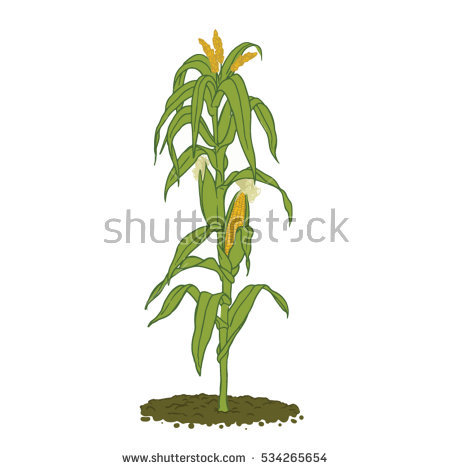 Corn Stalk Silhouette Stock Images, Royalty.