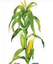 Free Corn Stalk Clipart.