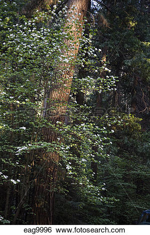 Stock Images of DOGWOOD TREES (family Cornaceae) bloom in Spring.
