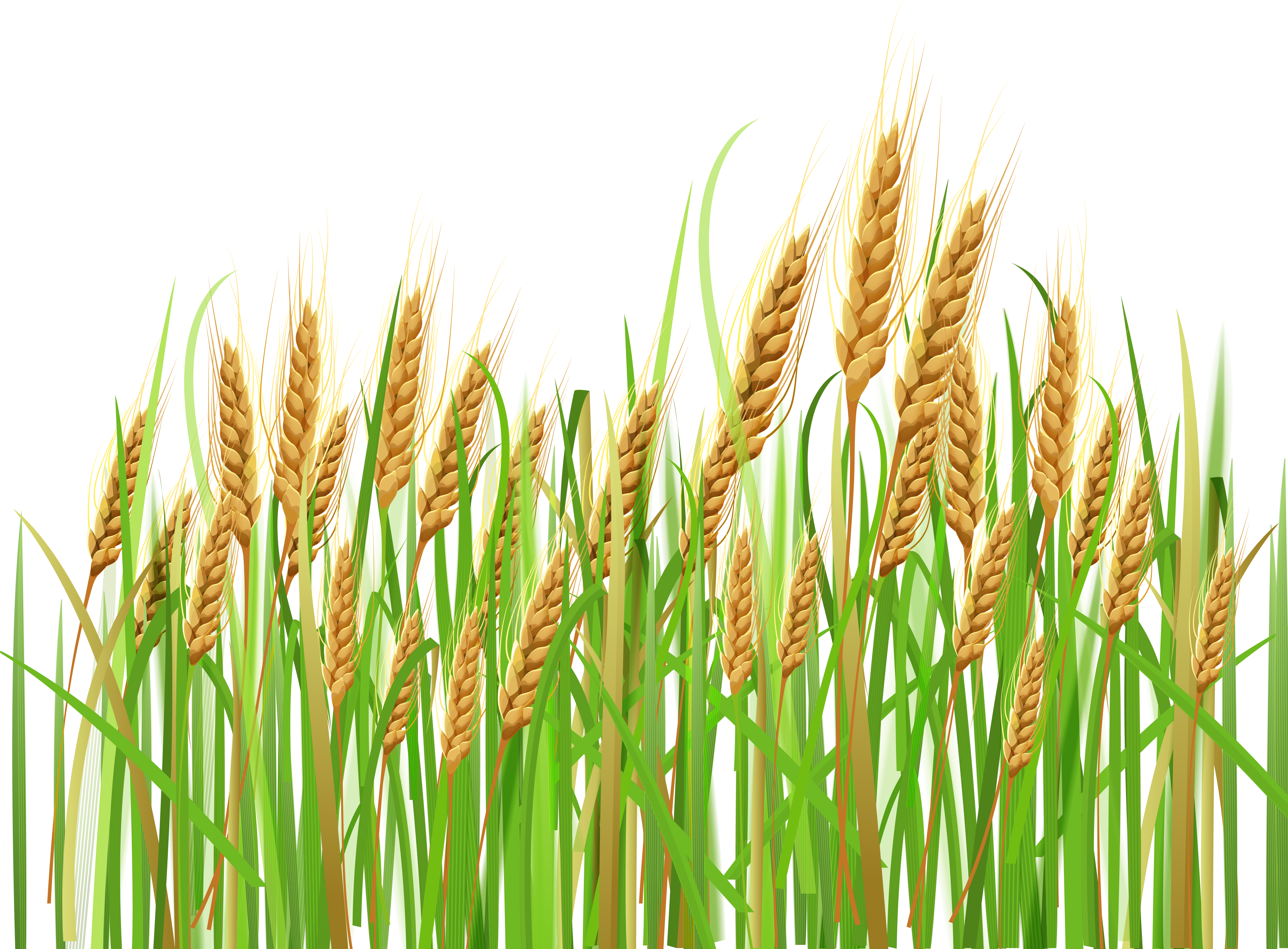 Download HD Cornfield Vector Wheat Background.