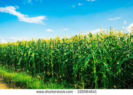 Cornfield Stock Images, Royalty.