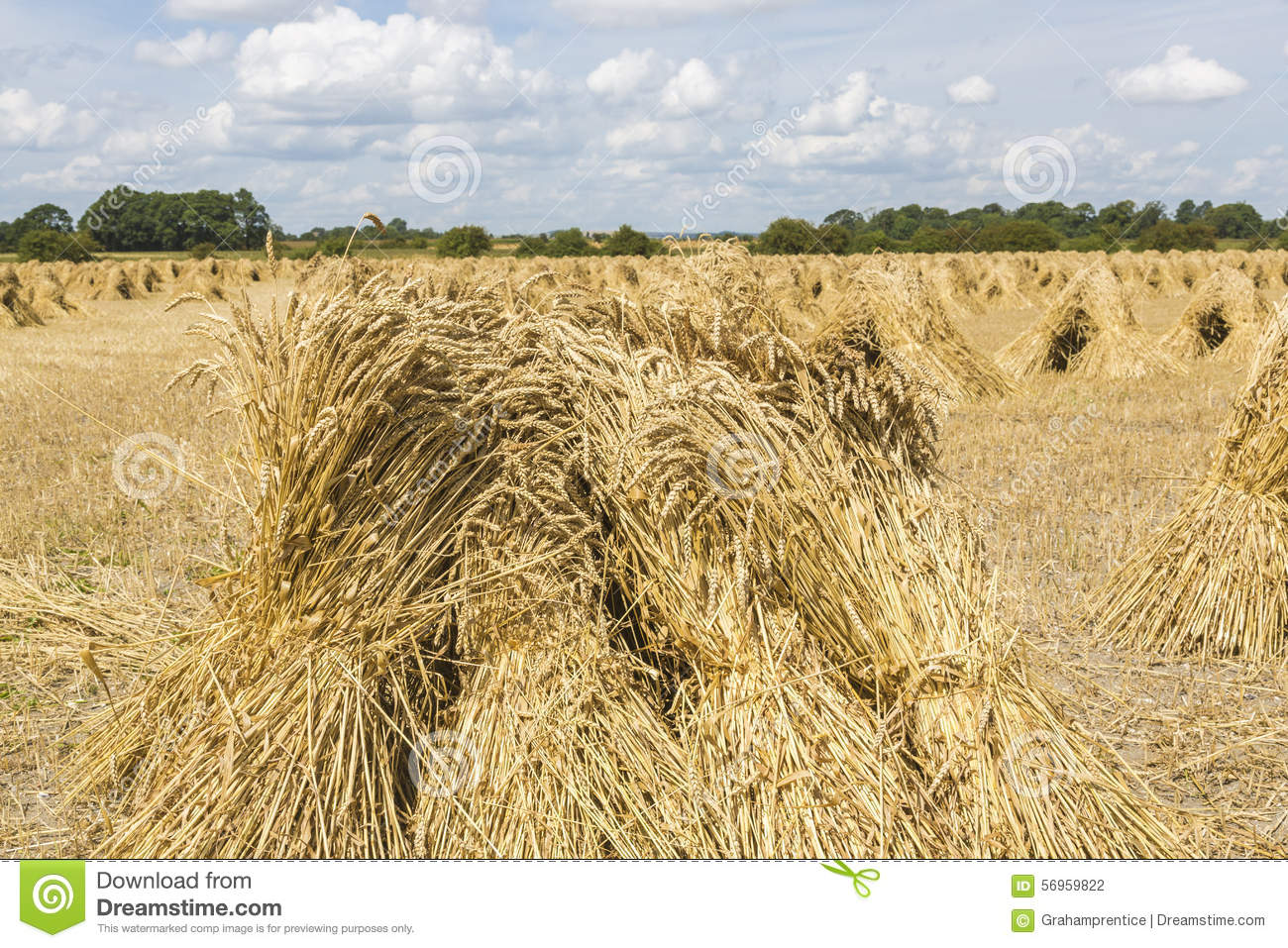 Wheat Stooks In Corn Field At Harvest Time Stock Photo.
