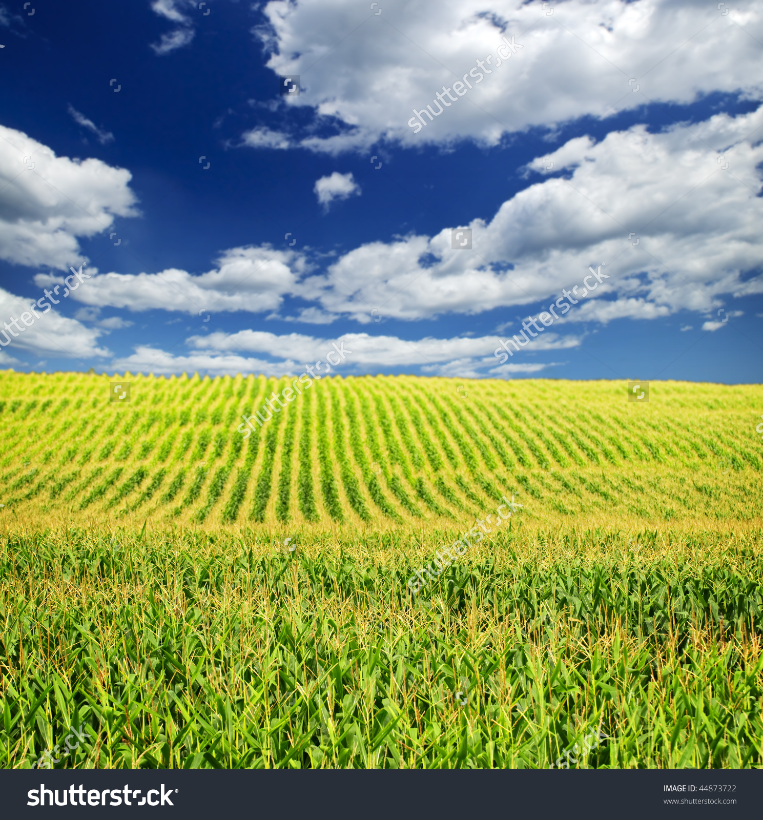 Agricultural Landscape Corn Field On Small Stock Photo 44873722.